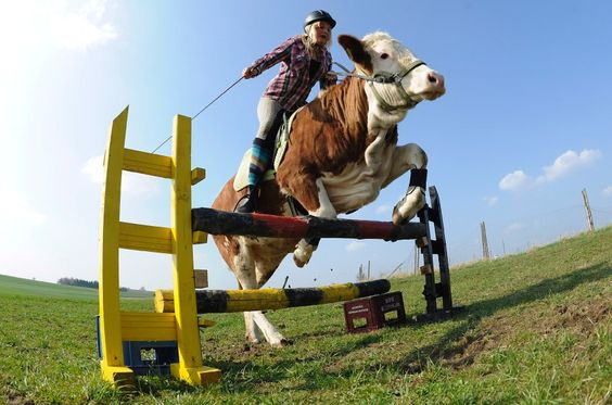 When Regina Mayer's parents refused to buy her a horse, she started cow training. http://www.spiegel.de/fotostrecke/photo-gallery-horses-that-say-moo-fotostrecke-66534.html