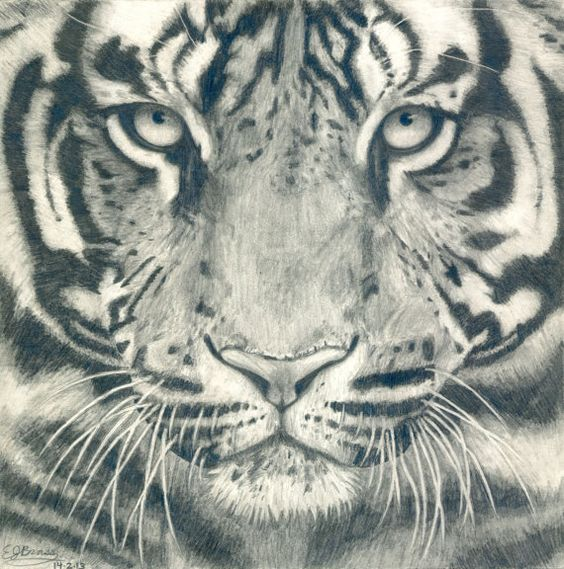 Tiger Face Black and White Realistic Pencil Drawing ...