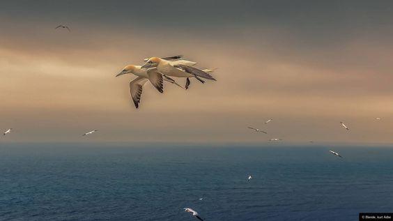 © Blende, kurt Adler, Beach Patrol | #Basstölpel am #Lummenfelsen auf #Helgoland