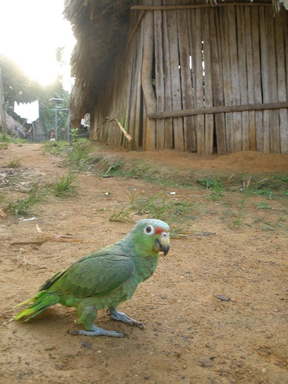Parrot walking in between Pintupo´s Community Houses (Guna Yala´s Ethnic Group), Bayano Lake, Panama.... More info at: https://www.google.com/search?q=Pintupo+Community&oq=Pintupo+Community&aqs=chrome..69i57.9430j0j4&sourceid=chrome&espv=210&es_sm=93&ie=UTF-8#q=Pintupo+Kuna+Yala+Community+Bayano+Lake&spell=1