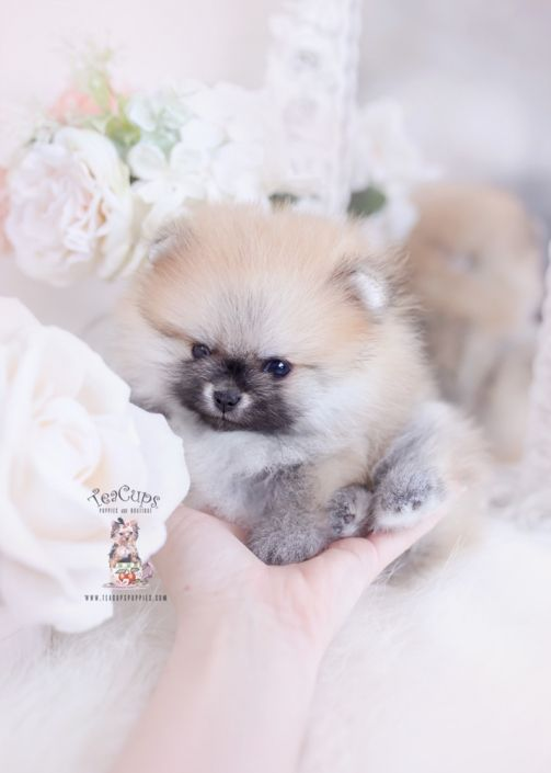 Pin On Teacup Puppies