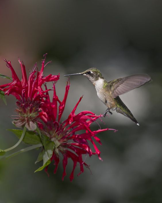 Flowers For Hanging Baskets That Attract Hummingbirds : The world s catalog of ideas