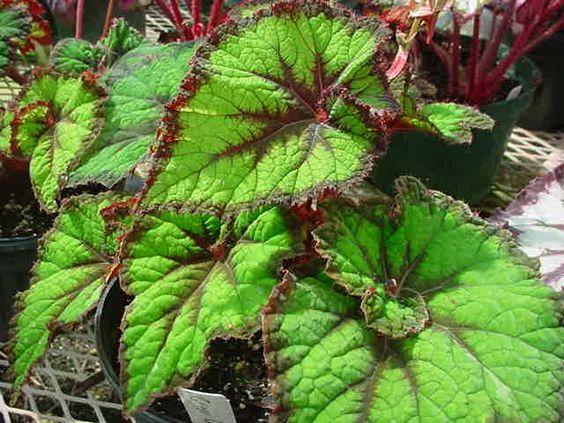 Begonia 'Green Goddess':