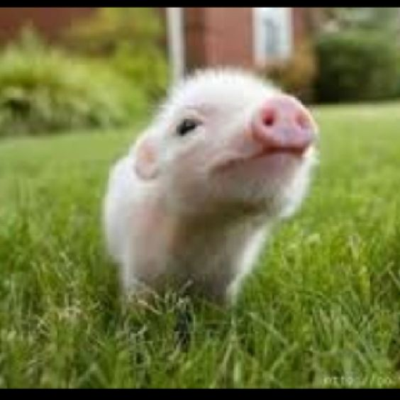 I want this teacup piggy!!!