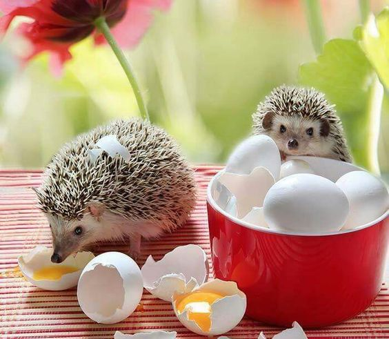 Hedgehogs with eggs!: