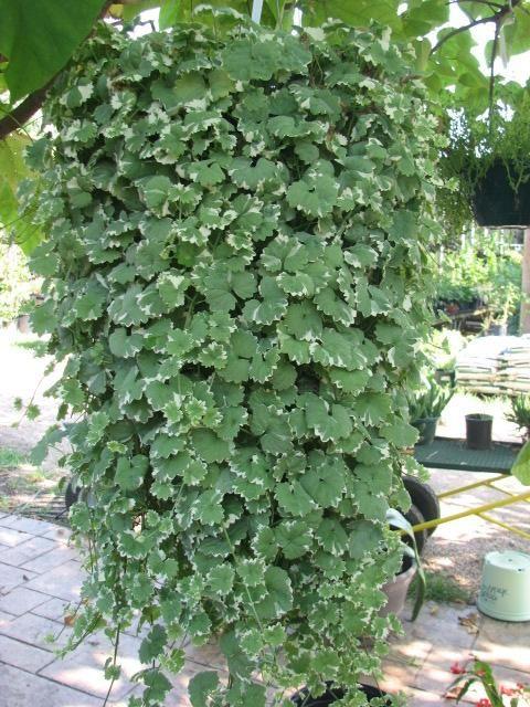 good charlie plant Part - 4: good charlie plant idea