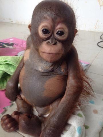 Gut gemocht Budi le bébé orang-outan maltraité est prêt à être adopté | JDM  HW23
