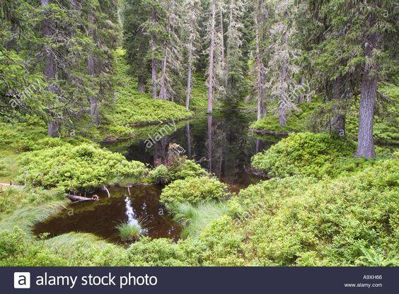 moor-pond-austria-np-hohe-tauern-virgin-forest-of-rauris-aug-A9XH66.jpg (1300×960)