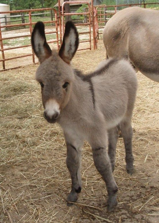 I have always had an obsession with miniature donkeys...and this baby mini donkey is absolutely adorable!