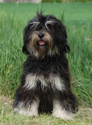 Cão da Serra de Aires / cão macaco / monkey dog / macaque dog