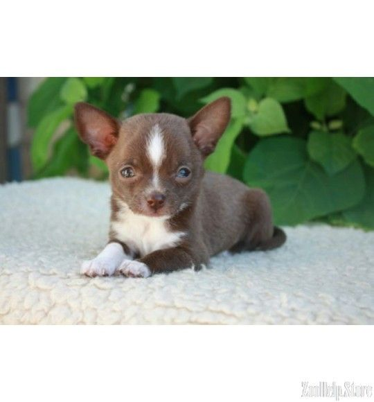 Chihuahua For Sale In Pa Chihuahua Puppies Chihuahua For Sale