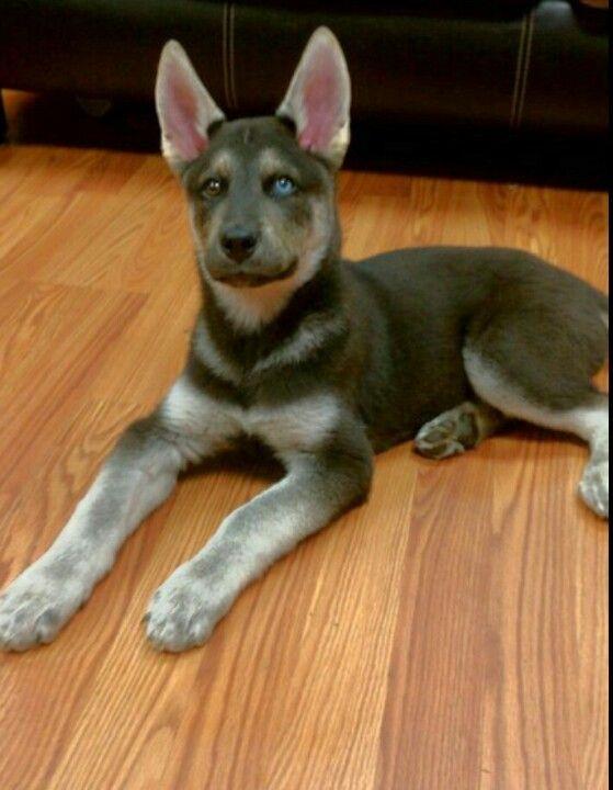 Gerberian Shepsky Hybrid Dogs Dog Pictures Dog Breeds