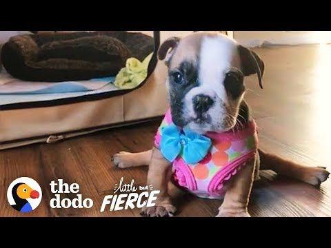 Sassy Baby Bulldog Wasn T Supposed To Walk Look At Her Run
