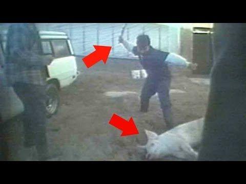 Pigs Dragged and Beaten on North Carolina Factory Farm