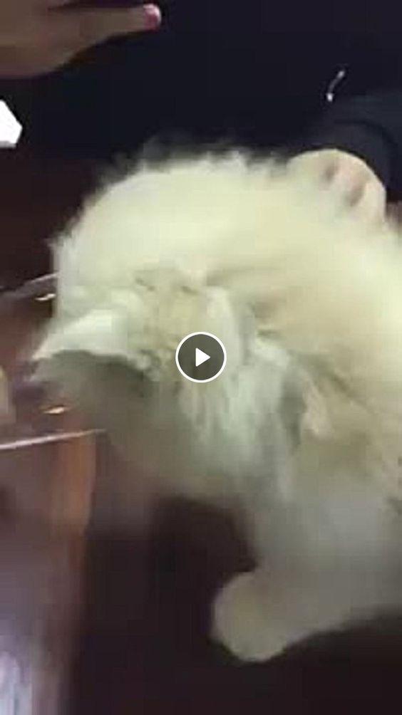 Gato enfiando a cabeça dentro de um copo de água longo