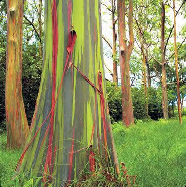 Rainbow Eucalyptus - Rainbow Eucalyptus trees on Maui, Hawaii The phenomenon is caused by patches of bark peeling off at various times and the colors are indicators of age. A newly shed outer bark reveals bright greens which darken over time into blues and purples and then orange and red tones