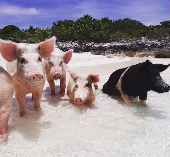 swimming pigs of exumas bahamas