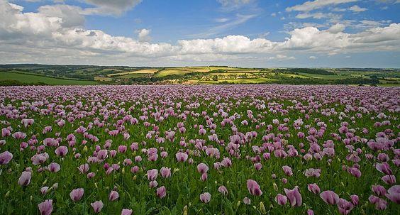 Poppy field in North Dorset
