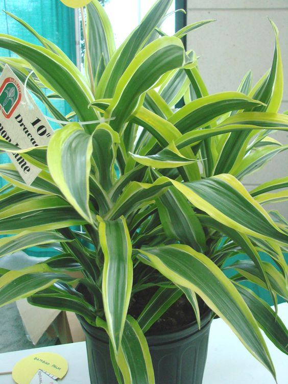 lime 3 lemon lime foliage plants fl foliage outdoors flora 1 garden 1 ...