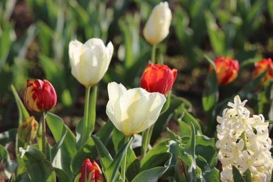 indira-gandhi-tulip-garden.jpg (550×367)