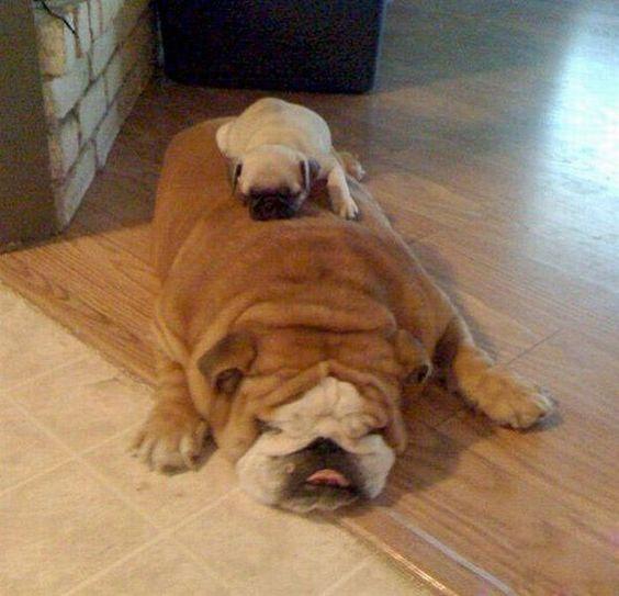 Pug on Bulldog