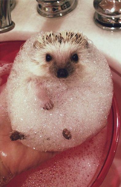 Bubble Bath Anyone? #hedgehog