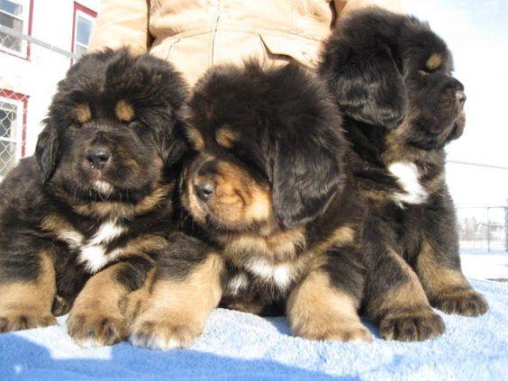 So fng adorable!!! Tibetan Mastiff puppies!!! #dog #mastiff #animal