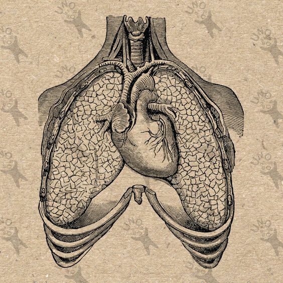 vintage image human anatomical lungs heart retro drawing