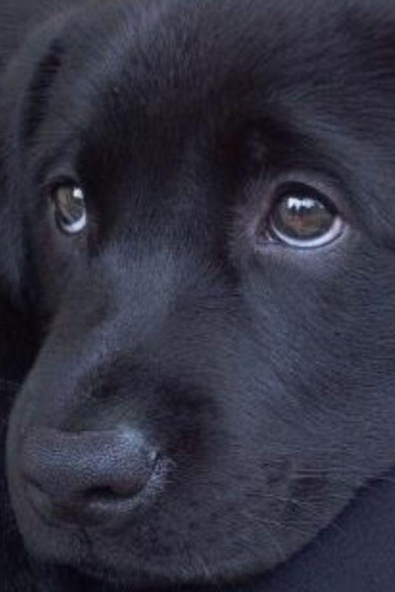 Black | 黒 | Kuro | Nero | Noir | Preto | Ebony | Sable | Onyx | Charcoal | Obsidian | Jet | Raven | Color | Texture | Pattern | Labrador ---> Those eyes though.