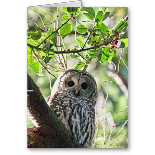 SOLD 2 Barred Owl Staring Cards by FunNaturePhotography. #owls #cards http://www.zazzle.com/funnaturephotography*