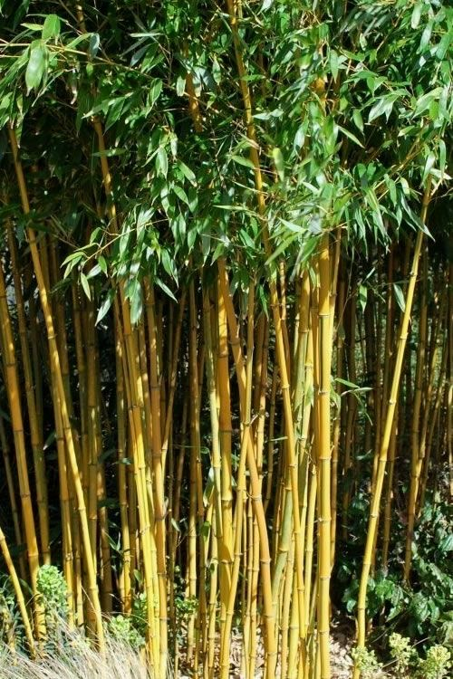 Buy Sky Tower Ginkgo Biloba Maidenhair Trees Free Shipping For Sale Online From Wilson Bros Gardens In 2020 Golden Bamboo Phyllostachys Bamboo Plants