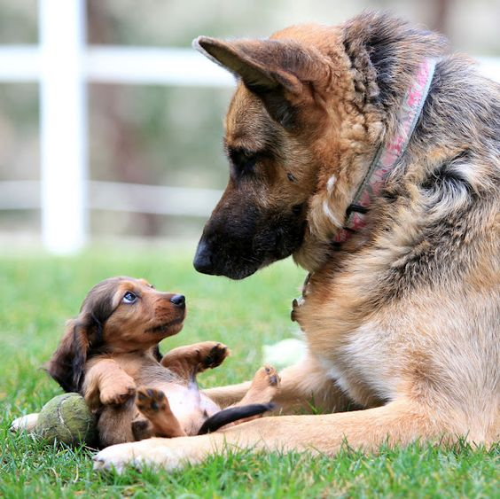 {rub my belly?} wee doxie + a giant Shepherd