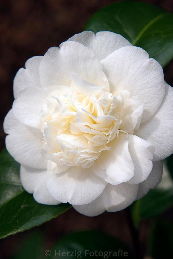 Camellia Japonica Noblissima Flores Rosas Como Fazer Um Jardim Flores Brancas