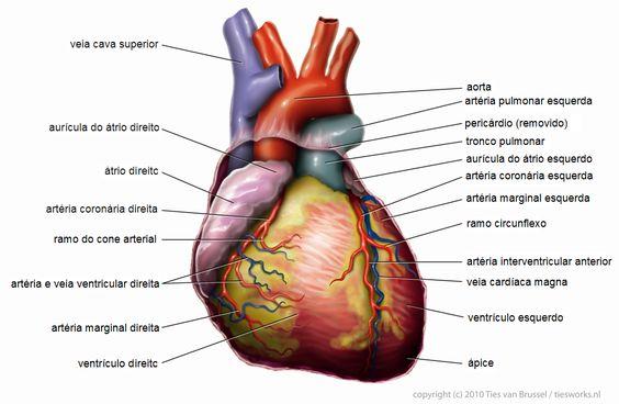 imagens de arterias e veias do corpo humano - Pesquisa Google