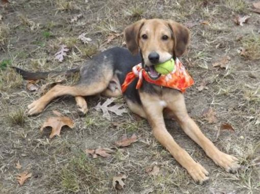 Voorhees Nj Beagle Meet Bodie A Dog For Adoption With Images