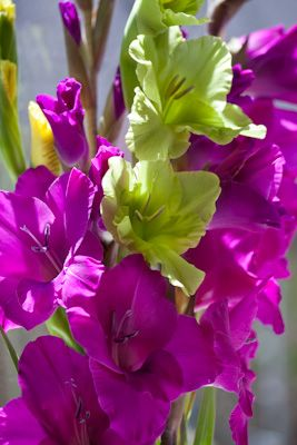 purple and green gladiolus