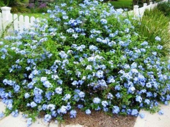 Blue plumbago flores pinterest the o 39 jays the back for Blue flowering bush