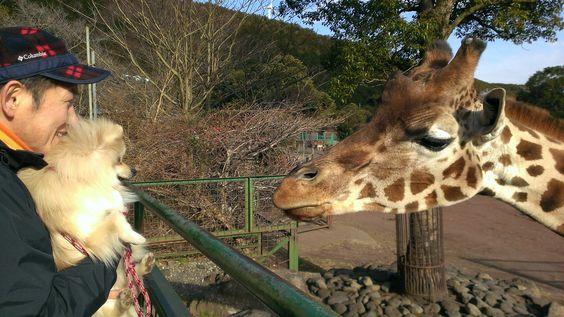 波琉くん/大室山アニマルキングダムにて/キリンさんにあいさつしました