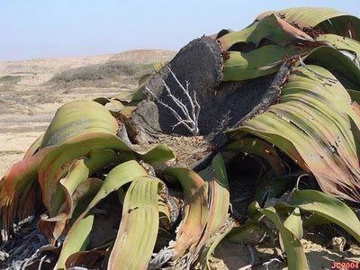Image result for Tumbuhan Paling Tangguh di Dunia (Welwitschia Mirabilis)