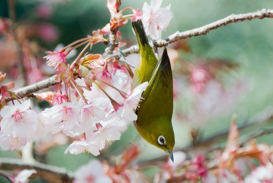 2012 White-eye and Cherry blossoms   Photo by: shinichiro   #japan   #birds