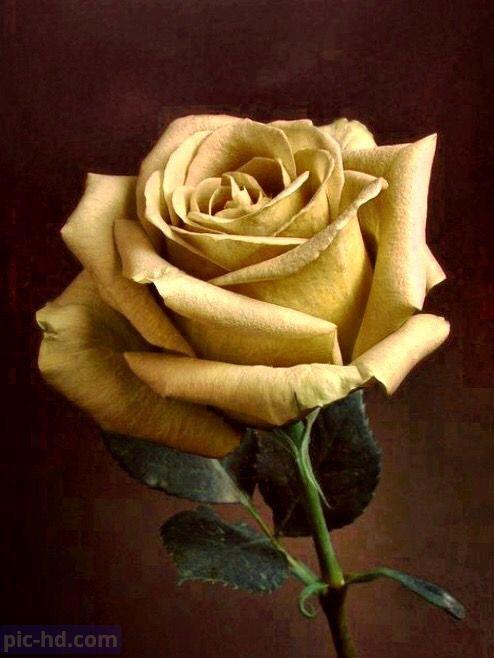 صور ورود أجمل صور خلفيات ورد للهاتف أجمل الورود الطبيعية Flores Bonitas Rosas Bonitas Jardin De Rosas