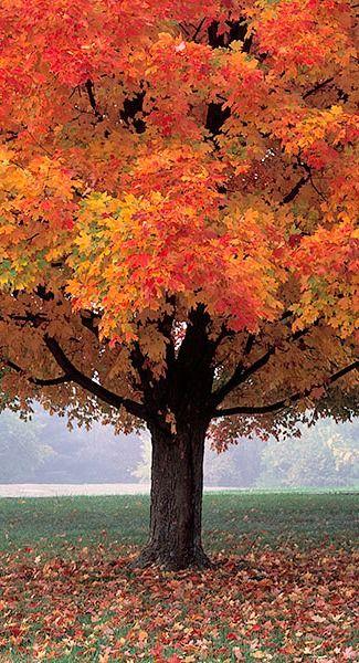maple tree in Autumn... / La beauté des couleurs de l'automne: