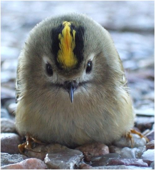 A Goldcrest with conspicuous yellow stripes on the head. (Photo: Tim Snow Milk…