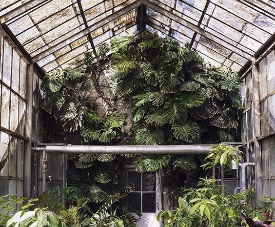 #MonsteraMonday! ✨ This gigantic one lives inside a greenhouse on the Botanical…