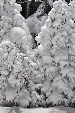 These trees, heavy-laden with snow, look like they are covered with marshmallow fluff.