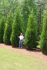 Trees back yard and yards on pinterest for Living screen fence