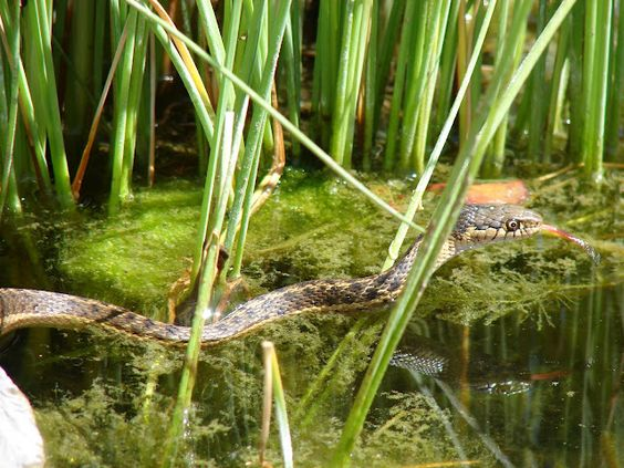 snake in the pond