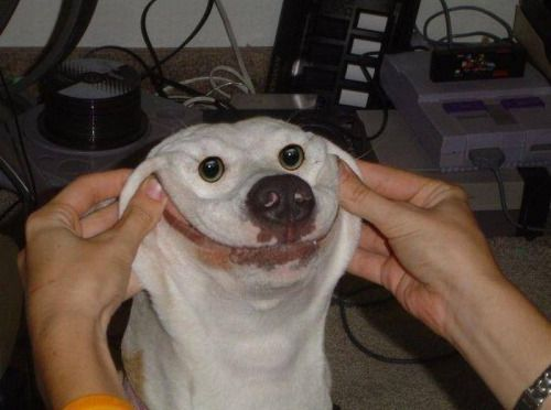 White Dog Smiling Meme Smiling Dogs Funny Looking Dogs Funny