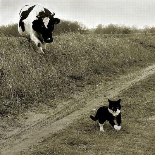 Holy cow! ...literally! Run kitty!!!