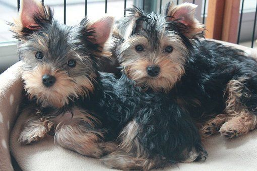 Teacup Yorkie Puppies For Sale In Illinois Il Find The Perfect Yorkie Puppy Within Your State In 2020 Teacup Yorkie Puppy Yorkshire Terrier Yorkie Yorkshire Terrier